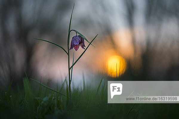 Snake's Head Fritillary ( Fritillaria meleagris) in a wet meadow at sunset  Berne  Lower Saxony  Germany  Europe