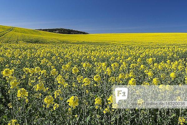 Feld mit blühendem Raps (Braßica napus) auf Rügen  Landwirtschaft  Bergen  Mecklenburg-Vorpommern  Deutschland  Europa