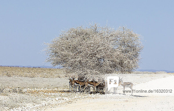 Herd of springbok standing in shade under lone tree  Etosha Pan  Namibia