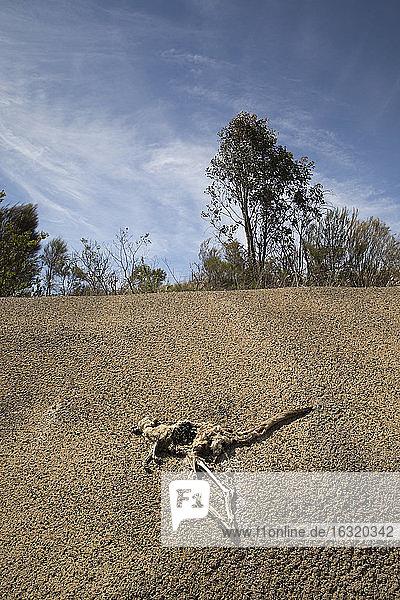 Dead kangaroo carcass on sunny cracked hillside  Heathcote  Australia