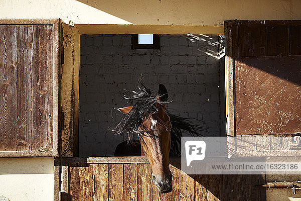 Egypt  El Gouna  horse in stable shaking head
