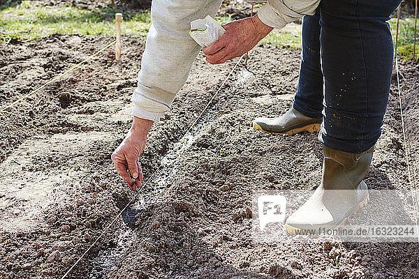 Frau sät Gartenerbsen in einer Reihe Frau sät Gartenerbsen in einer Reihe