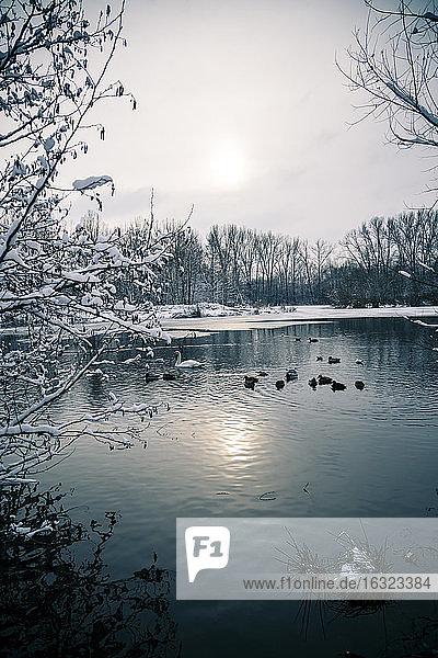 Germany  Bavaria  Ergolding  Pond with birds and swan in winter