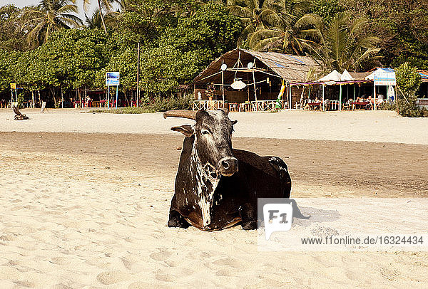 India  Goa  Arambol  Holy cow sitting in front of beach bar