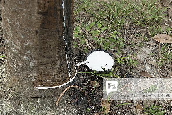 Thailand  Ko Lanta  Kautschuk wird von einem angezapften Gummibaum gesammelt