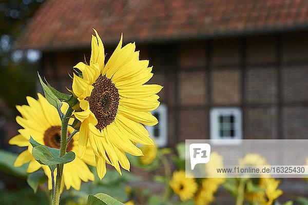 Sonnenblumen  Helianthus Annuus  vor einem traditionellen westfälischen Bauernhaus Sonnenblumen, Helianthus Annuus, vor einem traditionellen westfälischen Bauernhaus