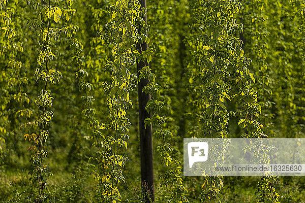 Germany  Bavaria  Attenhofen  hop garden