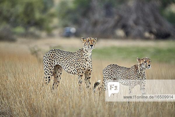 Zwei Geparden  Kgalagadi-Transfrontier-Nationalpark  Botswana  Südafrika  Afrika