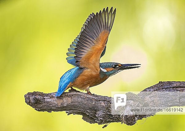 Common kingfisher (Alcedo atthis) Wing spreading  sunrise  Biosphere Reserve Mittelelbe  Saxony-Anhalt  Germany  Europe
