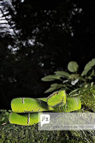 Vipère du temple. Tropidolaemus subannulatus. Celebes temple Pitviper. Amurang  North Sulawesi. Indonesia