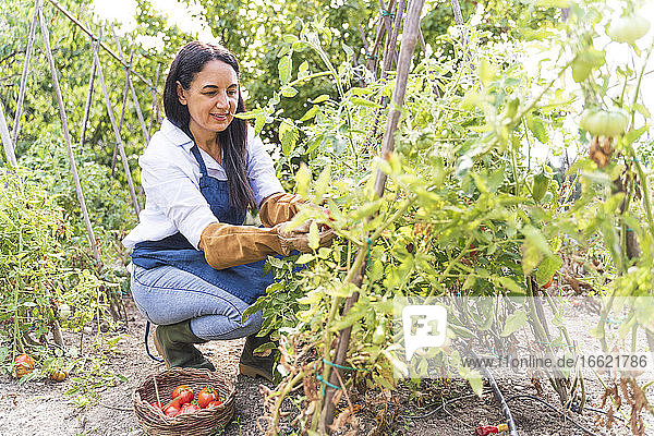 Happy woman harvesting fresh organic tomatoes from vegetable garden