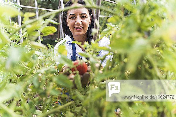 Smiling woman harvesting fresh organic tomatoes from vegetable garden