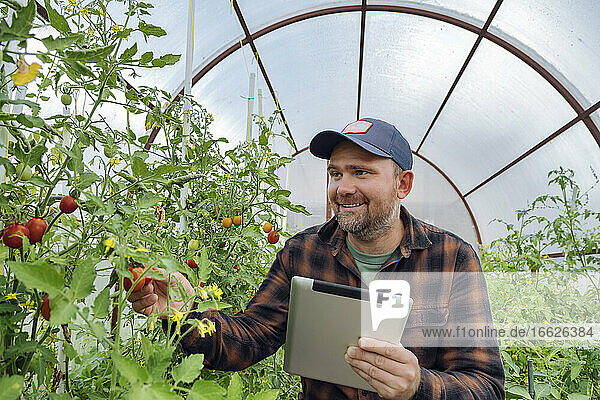 Smiling man using tablet while examining tomato in greenhouse
