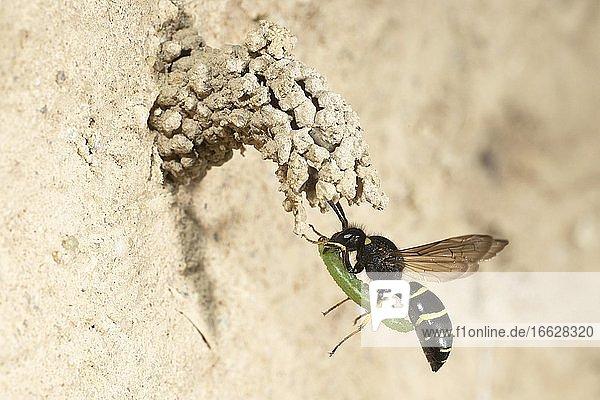 Chimney wasp approaching the cave with weevil larva  Bielefeld-Ummeln  North Rhine-Westphalia