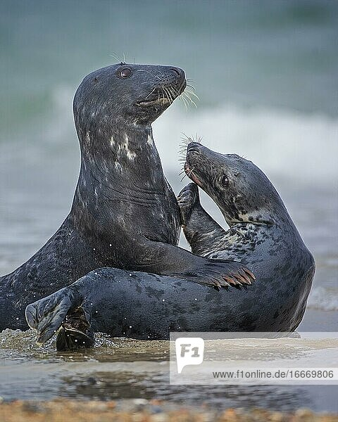 Grey seal (Halichoerus grypus) pair playing in the North Sea  island  Helgoland  Germany  Europe