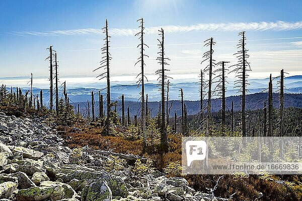 Dead spruces after bark beetle infestation on the mountain Lusen  Bavarian Forest National Park  Finsterau  Bavaria  Germany  Europe