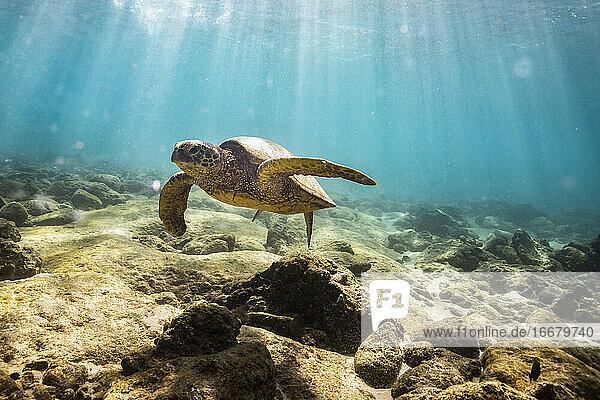 Sea turtle swims near the rocky ocean floor in oahu hawaii