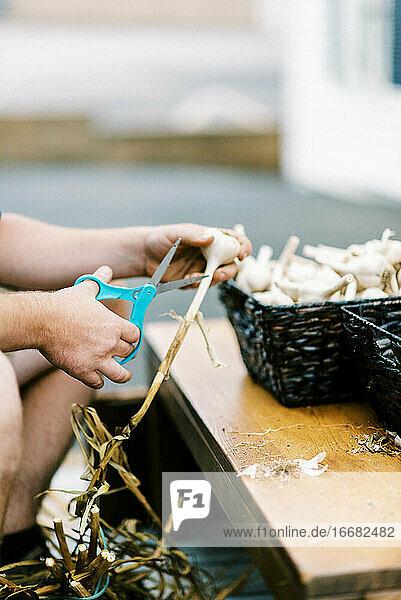 An urban farmer processing his cured organic and homegrown garlic