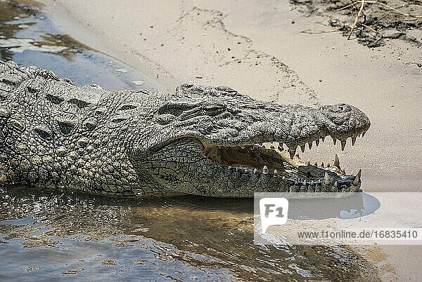 Close-up of a Nile crocodile (Crocodylus niloticus) with mouth ajar relaxing along the edge of the Chobe River. Chobe National Park  Botswana  Africa.