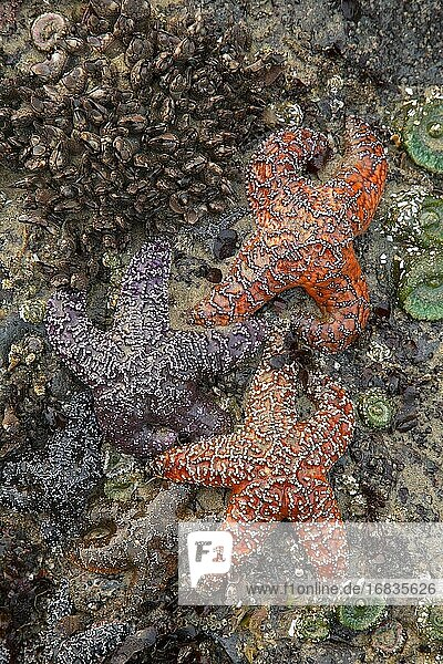 Ochre starfish (Pisaster ochraceous) with Gooseneck barnacles (Pollicipes polymerus) and Giant Green Sea Anemone (Anthopleura xanthogrammica)  Yachats State Park  Oregon.