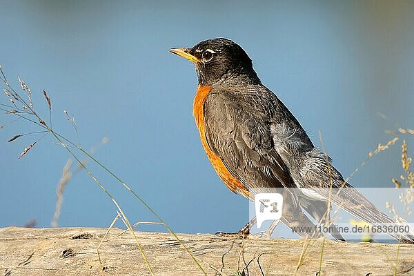 American robin (Turdus migratorius)  St Louis Ponds Public Fishing Area  Marion County  Oregon.