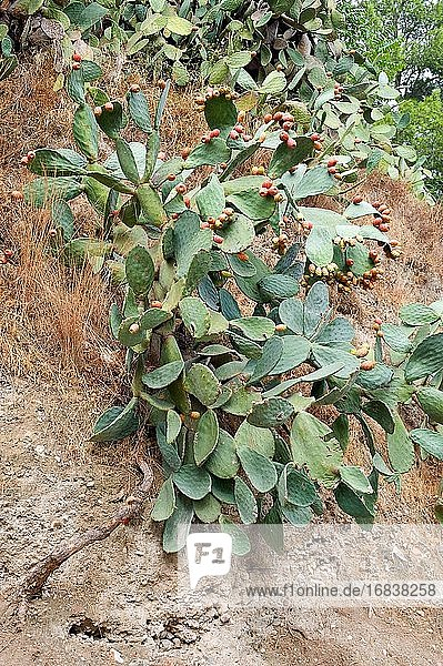 Barbary fig or Indian fig opuntia (Opuntia ficus-indica) is a cactus native to Mexico but naturalized in many arid or semiarid region of the World. This Photo was taken in Begur  Girona  Catalonia  Spain.