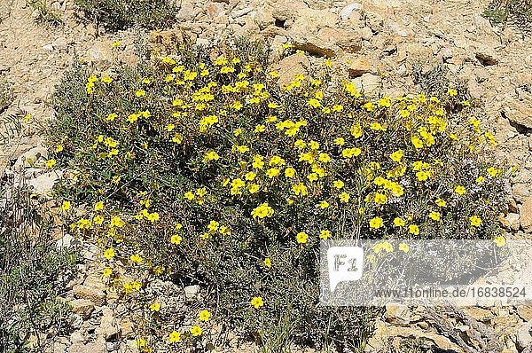 Jarilla (Helianthemum marifolium) is a small shrub native to Mediterranean basin. This photo was taken in Teruel province  Aragon  Spain.