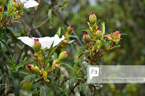 Laudanum (Cistus ladanifer) is a shrub native to western Mediterranean region. This photo was taken in Arribes del Duero Natural Park  Zamora  Castilla-Leon  Spain.