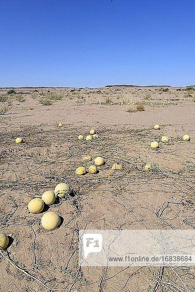 Citron melon (Citrullus lanatus citroides) is a annual prostrate plant native to southern Africa. This photo was taken near Swakopmund  Namibia.