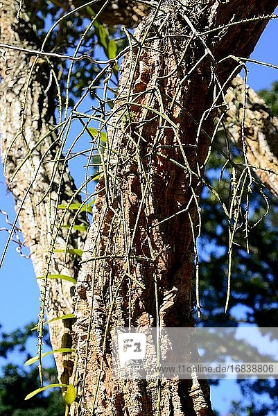 Mistletoe cactus (Rhipsalis baccifera) is an epiphytic cactus native to tropical America but naturalized in Africa and Asia. This photo was taken in Rio de Janeiro  Brazil.