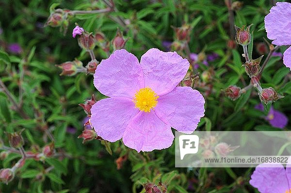Pink rock-rose (Cistus creticus) is a shrub native to Mediterranean basin. Flower and leaves detail.