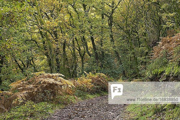 Worthy Wood in autumn near Porlock Weir in the Exmoor National Park  Somerset England.