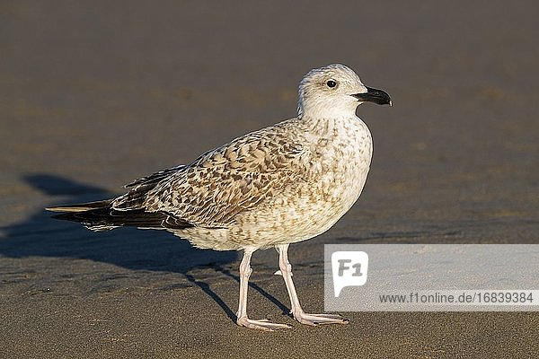 Yellow-legged Gull (Larus michahellis)  side view of a juvenile standing on the shore  Campania  Italy.