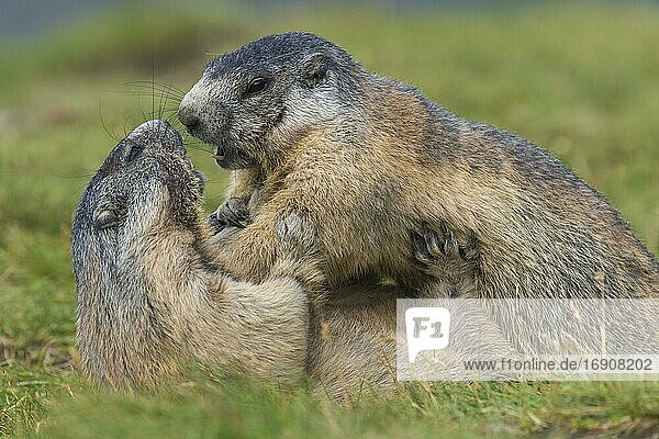 Marmots (Marmota marmota) mating in the Alps  playing  Hohe Tauern National Park  Austria  Europe