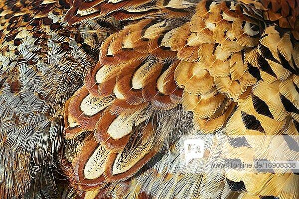 Jagdfasan (Phasianus colchicus)  erwachsener männlicher Vogel  Nahaufnahme seiner Federn  Norfolk  England  Vereinigtes Königreich