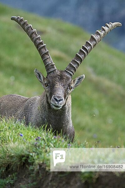 Alpine Ibex (Capra ibex)  ibex  portrait  mountain  Alps  Hohe Tauern National Park  Austria  Europe