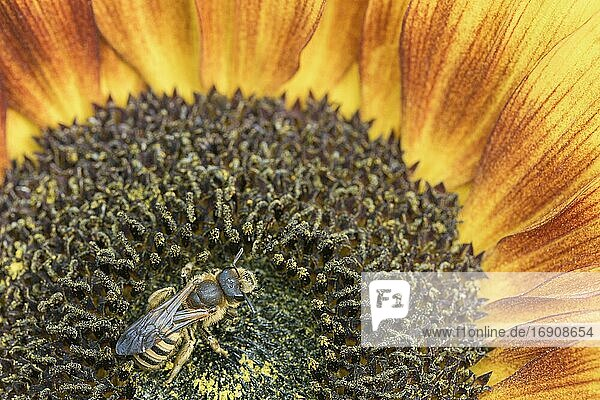 Sweat Bee (Halictus scabiosae)  on sunflower  Germany  Europe