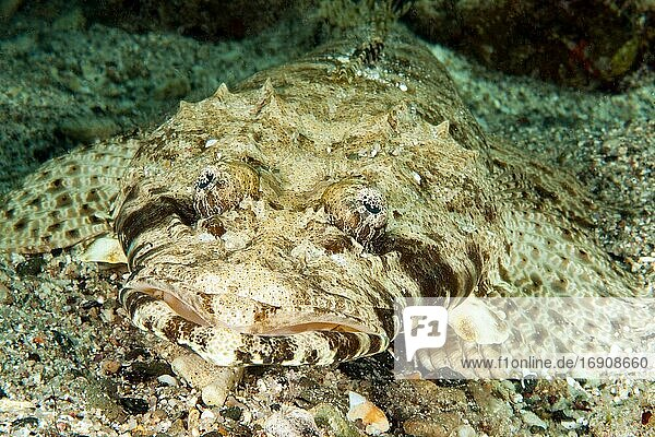 Tentacled flathead (Papilloculiceps longiceps) camouflaged on sandy ground  Red Sea  Egypt  Africa