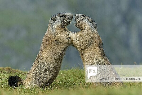 Marmots (Marmota marmota) in the Alps  fight  play  portrait  Hohe Tauern National Park  Austria  Europe