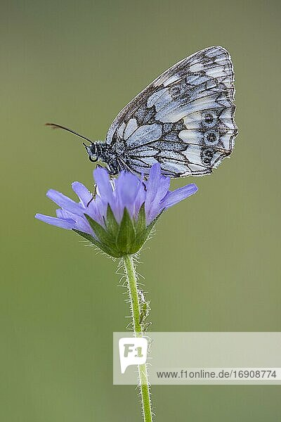 Marbled white (Melanargia galathea)  butterfly  Eichstätt  Bavaria  Germany  Europe