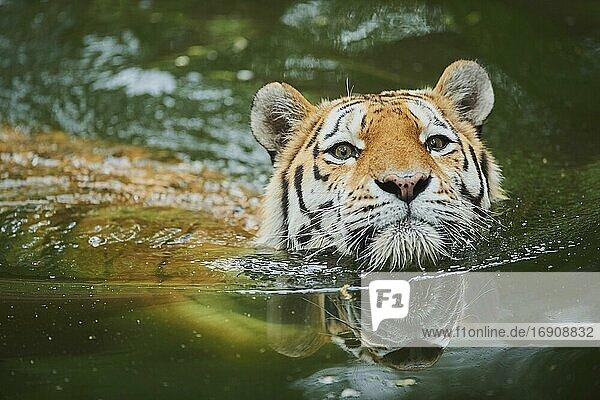 Sibirischer Tiger (Panthera tigris tigris) schwimmt im Wasser  captive