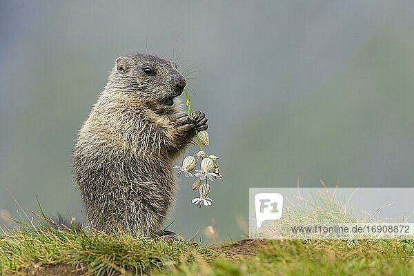 Young marmot (Marmota marmota) eating flower in the Alps  Hohe Tauern National Park  Austria  Europe
