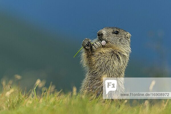 Young marmot (Marmota marmota) in the Alps  eating flower  Hohe Tauern National Park  Austria  Europe