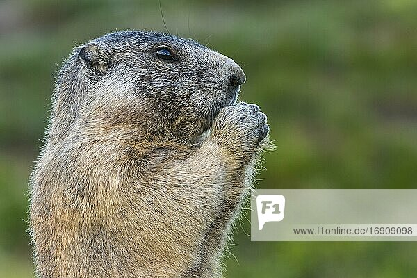 Marmot (Marmota marmota) in the Alps  Portrait  Hohe Tauern National Park  Austria  Europe