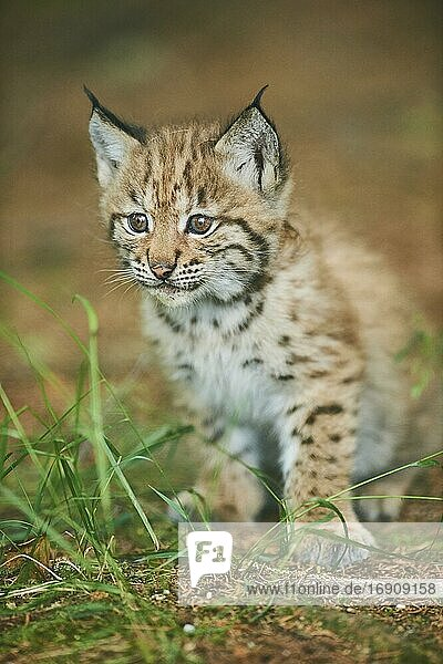 Eurasian lynx (Lynx lynx)  kitten sitting on the forestground  captive  Germany  Europe