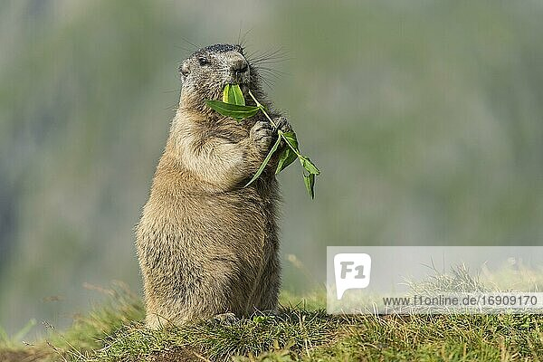 Marmot (Marmota marmota) in the Alps  eating flower  Hohe Tauern National Park  Austria  Europe