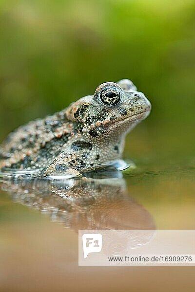 Kreuzkröte (Bufo calamita)  sitzt im Wasser mit Spiegelung  Velbert  Nordrhein-Westfalen  Deutschland  Europa