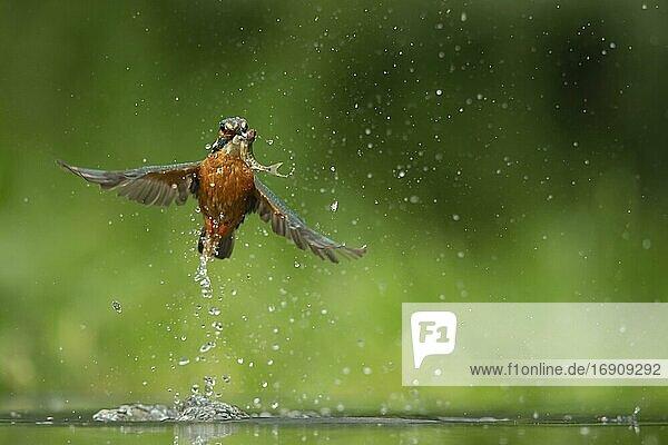 Eisvogel (Alcedo atthis)  erwachsener Vogel  der aus einem Fluss auftaucht  nachdem er einen Fisch gefangen hat  Norfolk  England  Vereinigtes Königreich