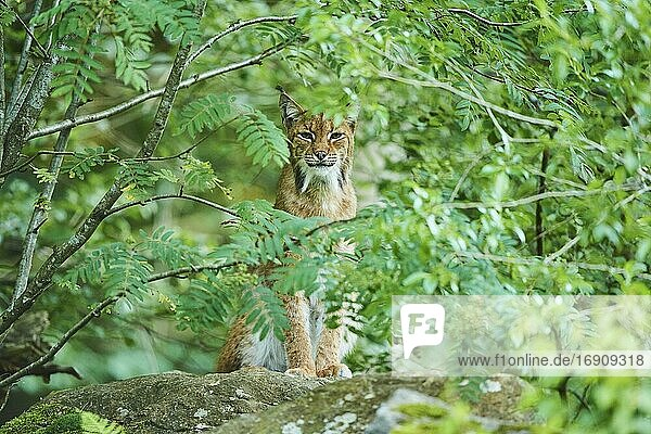 Eurasian lynx (Lynx lynx)  staying in a forest  captive  Bavarian Forest National park  Germany  Europe