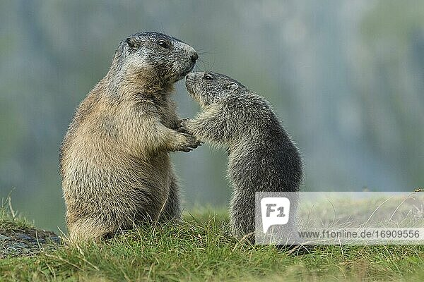 Marmot (Marmota marmota) with young in the Alps  Hohe Tauern National Park  Austria  Europe